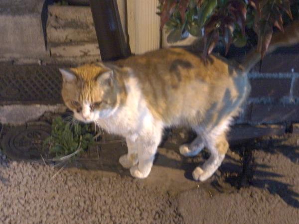 近所を巡回する猫