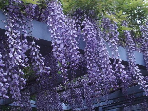 藤棚に咲くうす紫色の藤の花